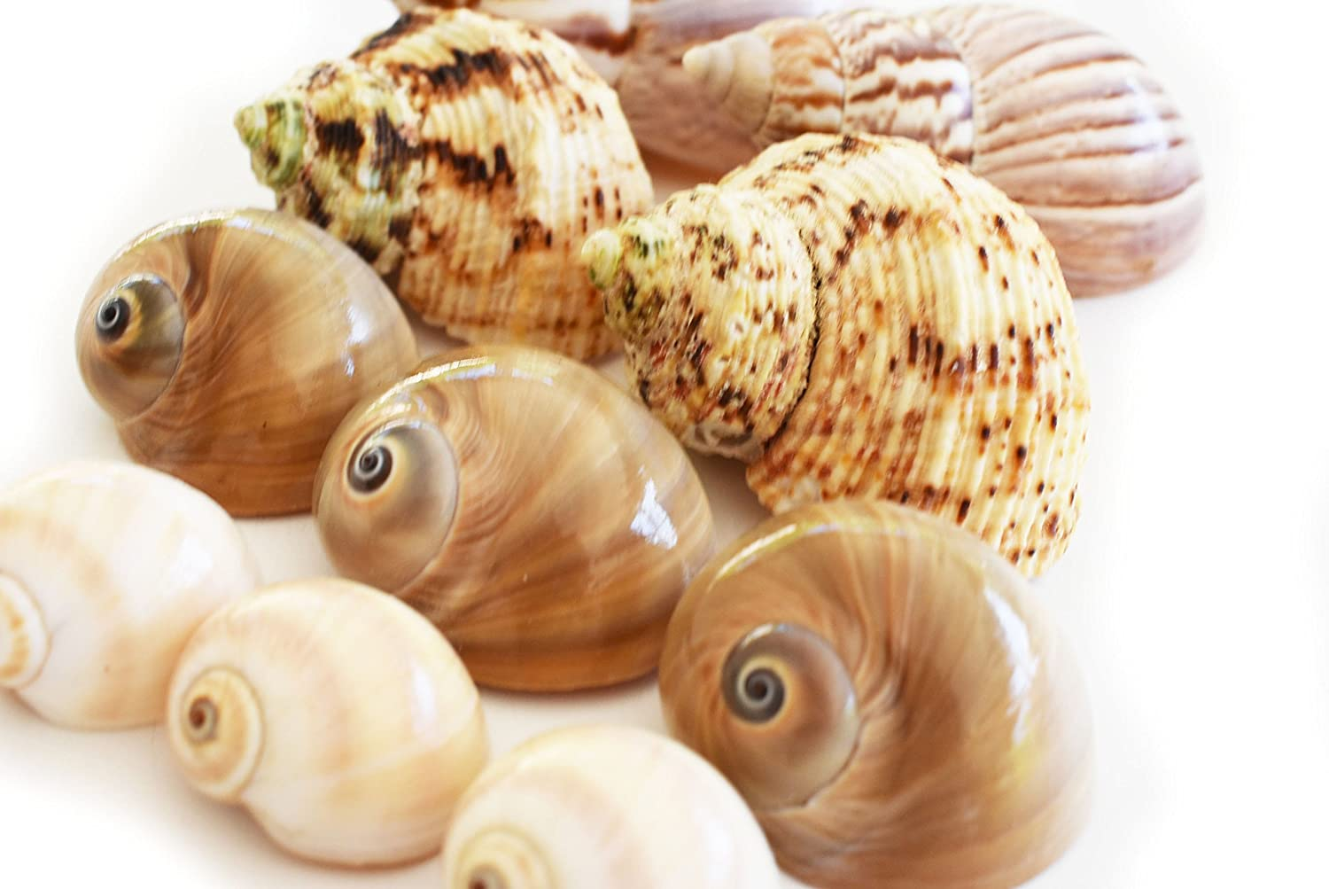 Florida Shells and Gifts 10 Shell Hermit Crab Changing Set - Medium Size (3/4-1 1/4 opening) - Land Snails, Whales Eyes, Moon Shells, Turbos (total of 10 Seashells)
