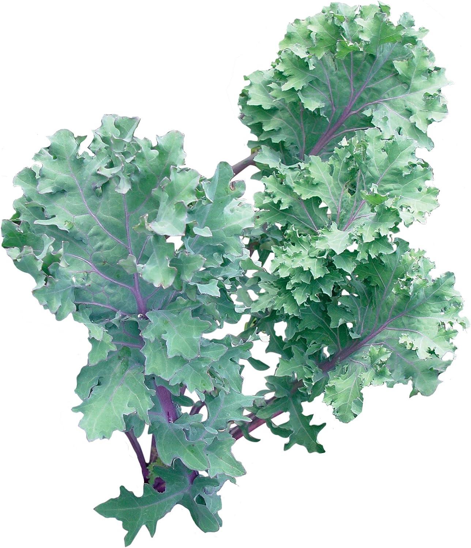 """1500 seeds Red kale /""""Sympatic/"""""""