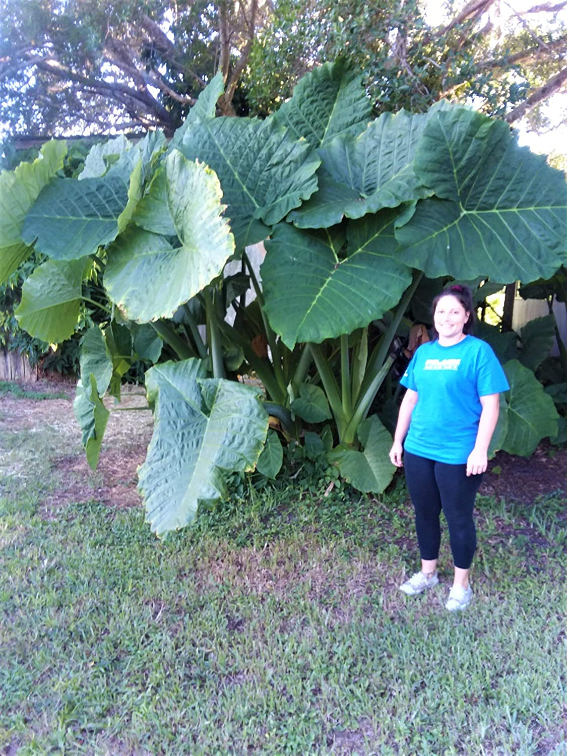 Two Strong and Healthy Emeritus Gardens Elephant Ear, Alocasia Macrorrhiza, Plants with Emeritus Gardens Slow Release Plant Food.