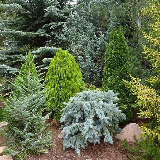 5 X Mixed Evergreen Conifers Bushy Ornamental Compact Garden