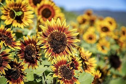 200 seeds Giant Sunflower Autumn Beauty Yellow easy Grow Garden