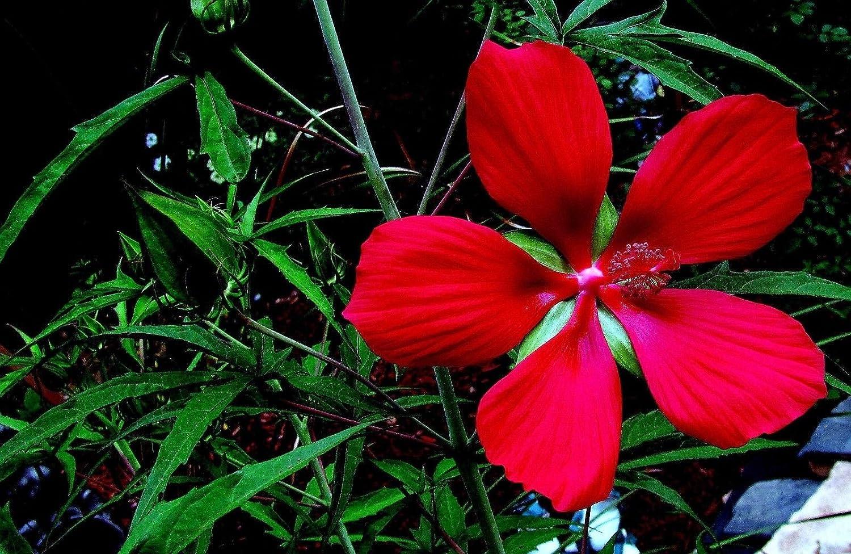 Amazoncom New Red Texas Star Hibiscus Coccineus Scarlet