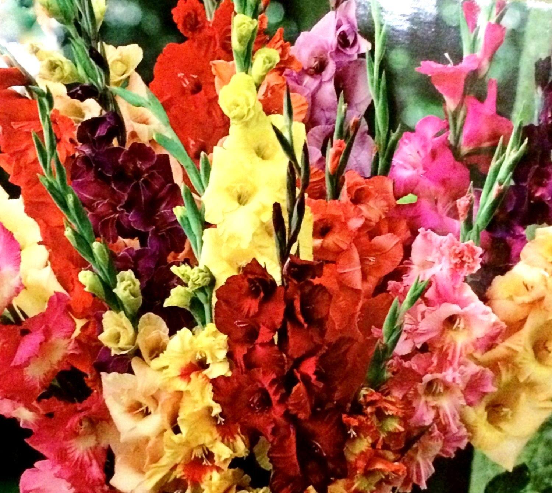 Gladiolus Bulb 20 Pack Pastel Mixed Mixed Perennial Gladiolus