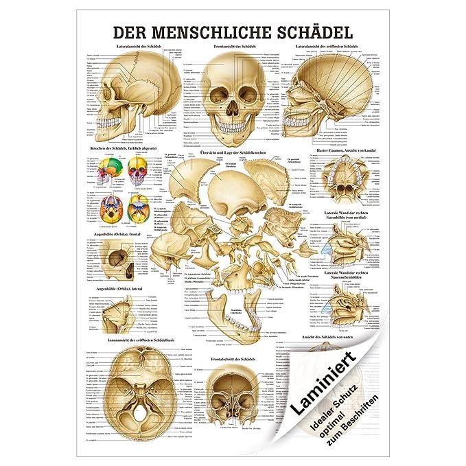 Schädel und Schädelknochen Lehrtafel Anatomie 100x70 cm medizinische ...