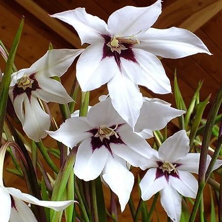 Gladiolus acidanthera Peacock Orchid 3 Bulbs Acidanthera Bulbs