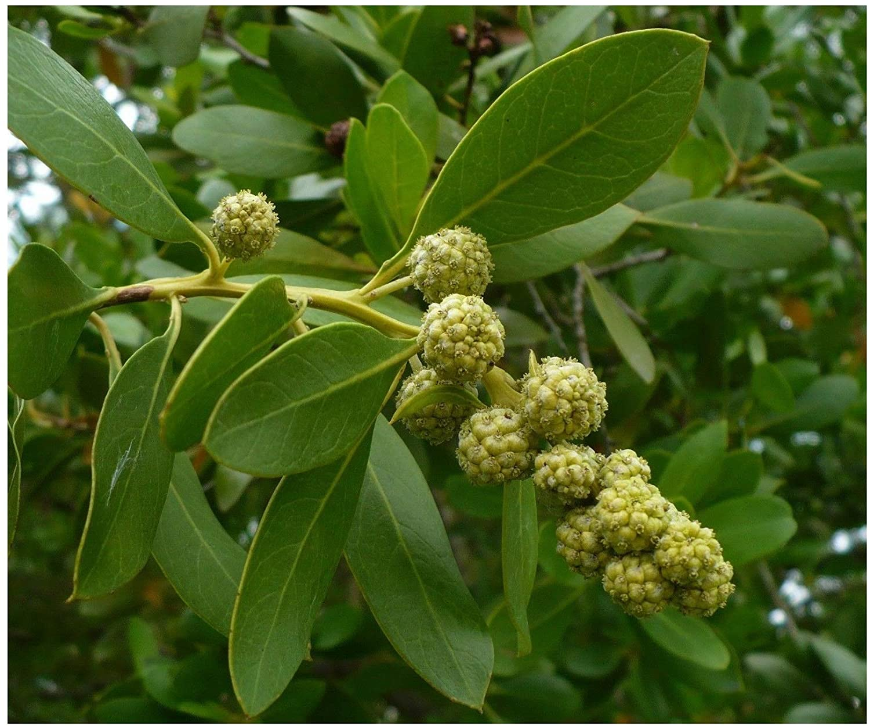 Amazon.com : Flowers Seeds Green Buttonwood conocarpus erectus ...