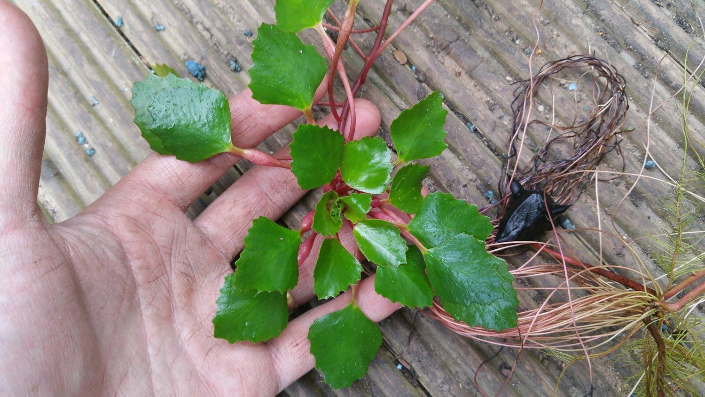 3 Trapa Natans for pond, floating plant against algae Feed Decor