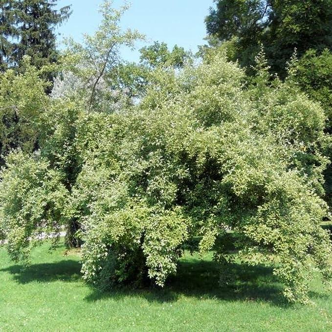 Amazon.com: Paraguas de oliva de otoño Elaeagnus Umbellata ...
