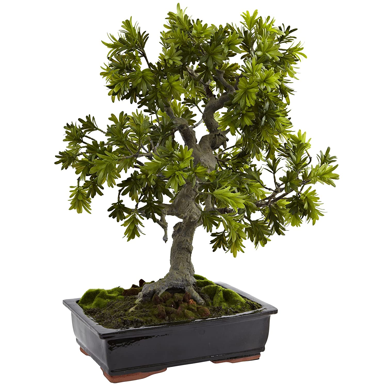 ほぼ自然4849 Giant Podocarpus with Mossed盆栽プランター B00R31PWAM