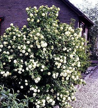 Gefüllter Schneeball Weiß Blühend 1 Strauch Xl Zu Dem Artikel