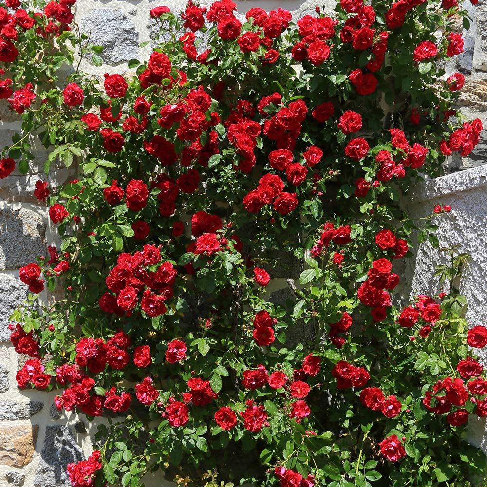 1 Red Lucky Complete Pot Collection 2 or 4 x Bare Root Plants Thompson /& Morgan Magnolia Tree Outdoor Deciduous Garden Shrub for Patio Producing Pink Roses Soulangeana Red Lucky
