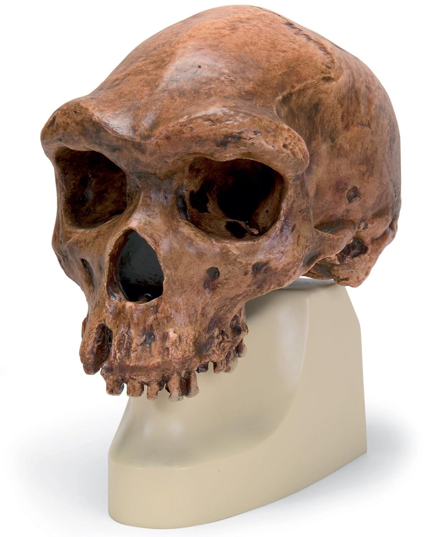 超可爱の ハイデルベルグ人の頭骨モデル B00NXP9XSE B00NXP9XSE, DEPOS(デポス):72c95eb3 --- a0267596.xsph.ru