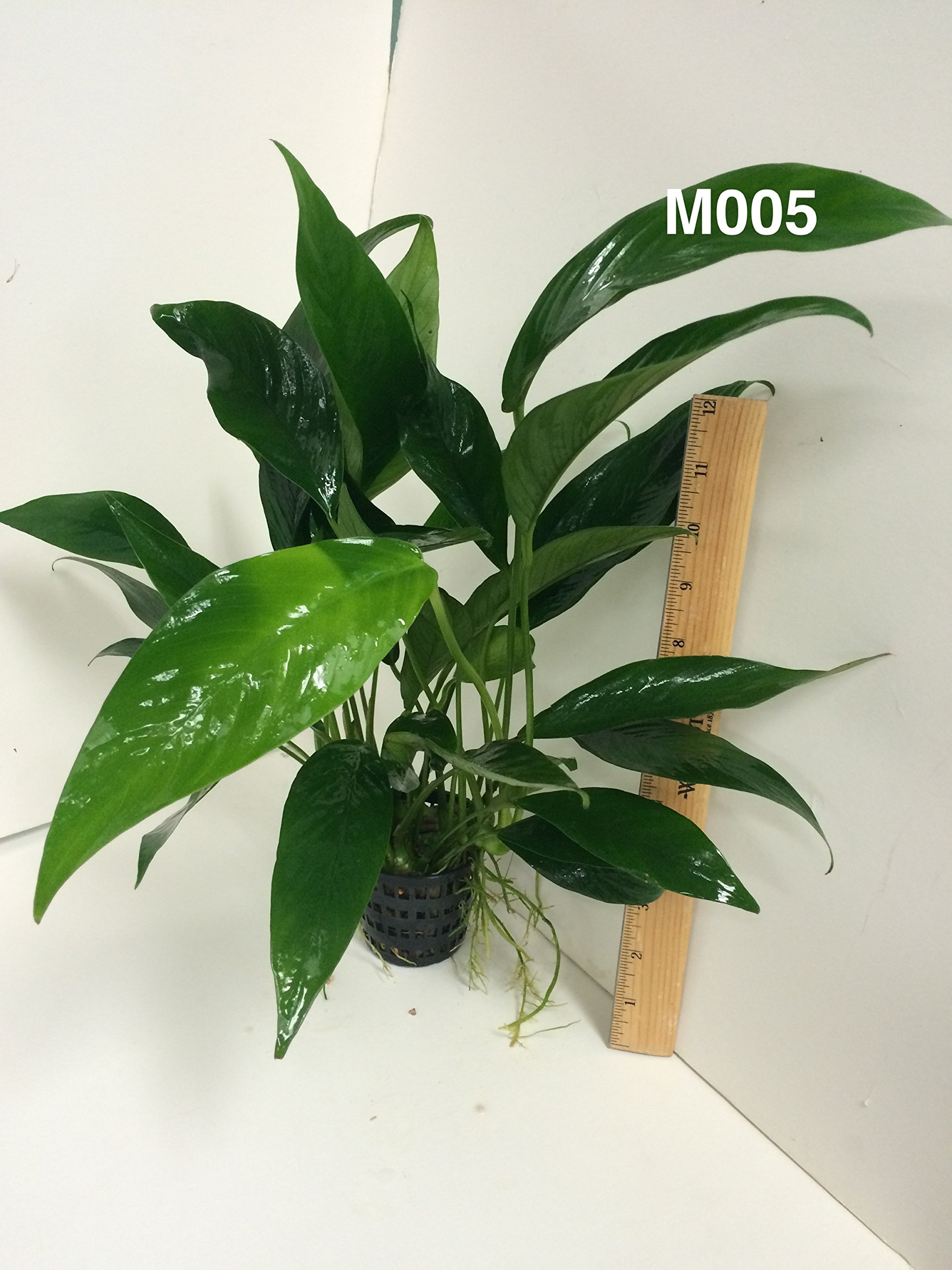 Anubias congensis Mother Pot Plant M005 Live Aquatic Plant by Jayco (Image #3)