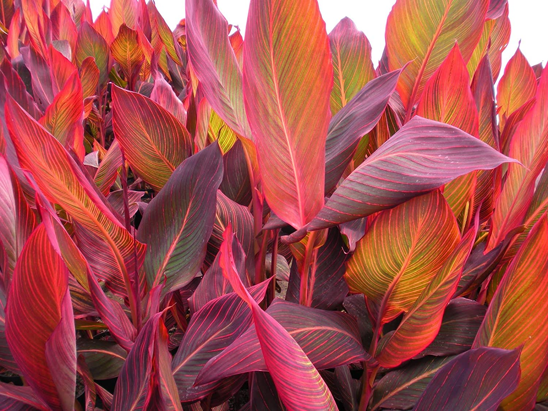 Canna Durban - Marginal Pond Plants - Pond Plants - Water Plants-None-3 Ltr Lincolnshire Pond Plants