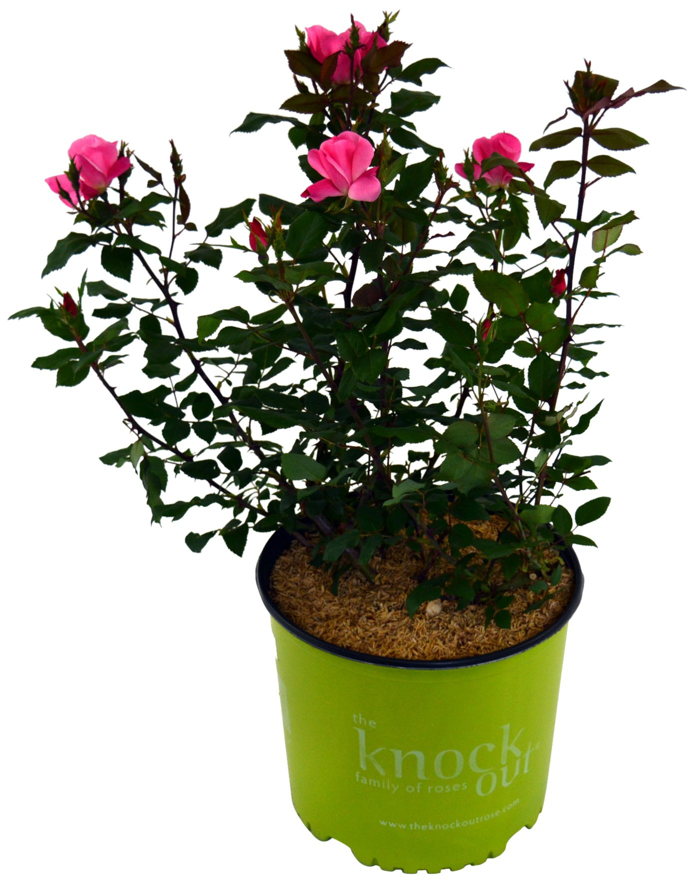 Knock Out Roses - Rosa Knock Out Pink (Rose) Rose, pink flowers, #2 - Size Container by Green Promise Farms (Image #1)