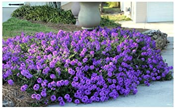 Amazon Moss Verbena 50 Groundcover Seeds Creeping