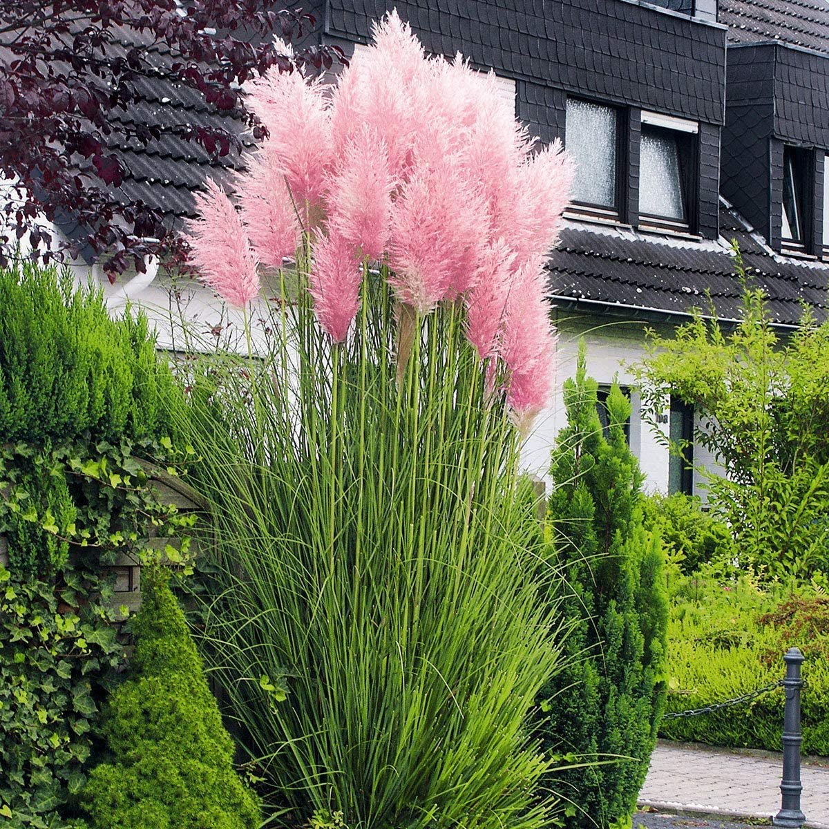 Rare 500pcs Pink Pampas Grass Ornamental Grass, Hardy Perennial Flower Seeds for Balcony, Terrace or as a Container Plant