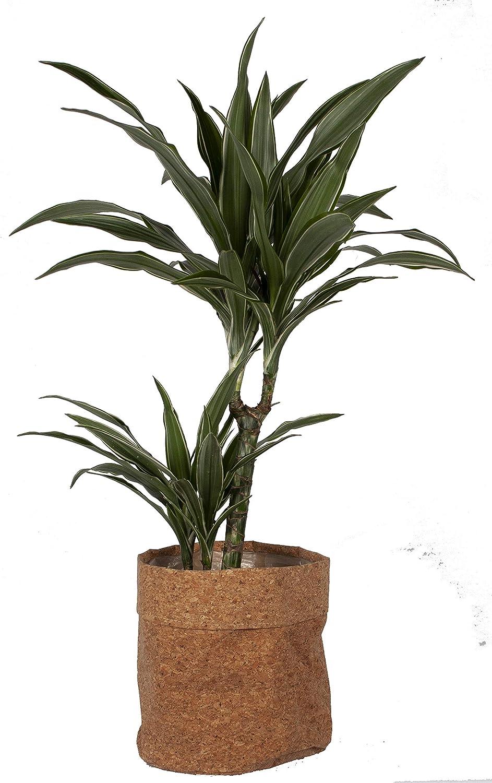 Planta de interior de Botanicly – Árbol dragón en maceta de corcho ...