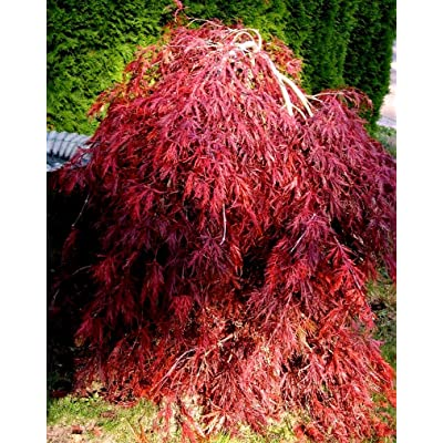 Red Dragon Weeping Lace Leaf Japanese Maple 2 - Year Live Plant : Maple Trees : Garden & Outdoor