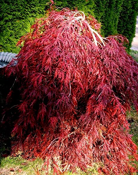 Amazoncom Red Dragon Weeping Lace Leaf Japanese Maple 2 Year