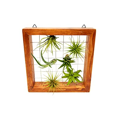 Air Plant Holder | Plant Stand and 5 Hanging Plants | Live Tillandsia Wall Plants | Hang Air Plants | Air Plant Hanger Frame Stand by Plants for Pets : Garden & Outdoor