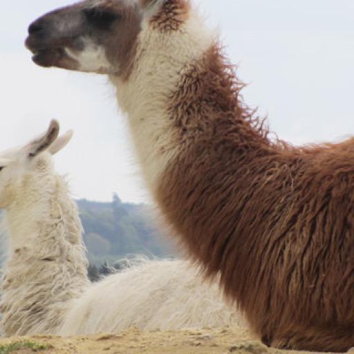 Amazon.com: Llama Wallpaper -- HD Wallpapers Of Llamas