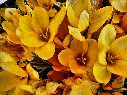 Amazon 200 giant yellow crocus flower bulbs crocus plants 200 giant yellow crocus flower bulbs mightylinksfo