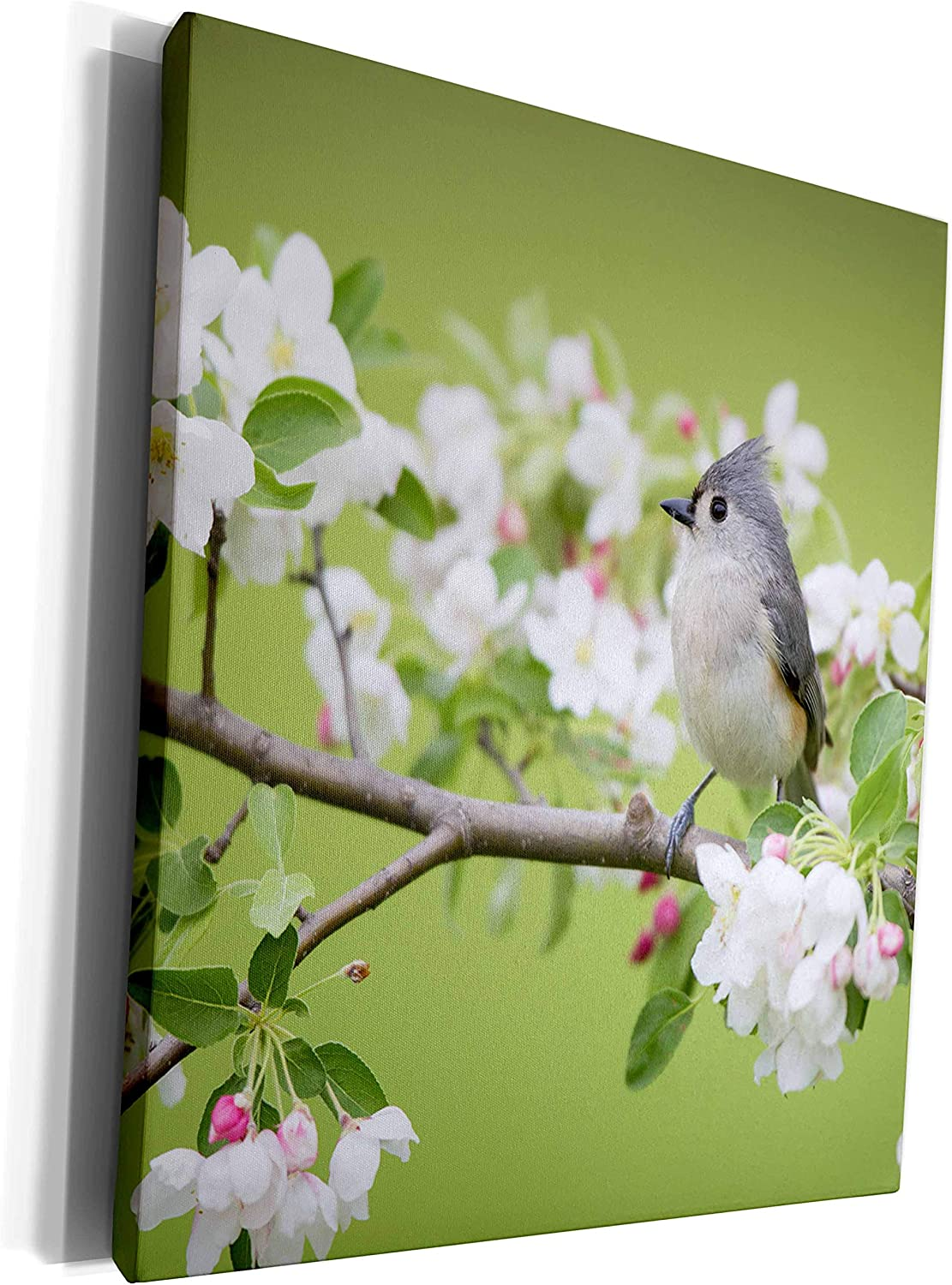 3dRose Danita Delimont - Birds - Tufted Titmouse in Crabapple tree in spring. Marion, Illinois, USA. - Museum Grade Canvas Wrap (cw_209269_1)