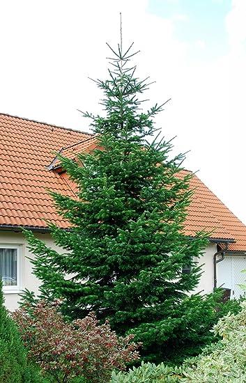 Weihnachtsbaum topf balkon europ ische weihnachtstraditionen for Nordmanntanne im topf
