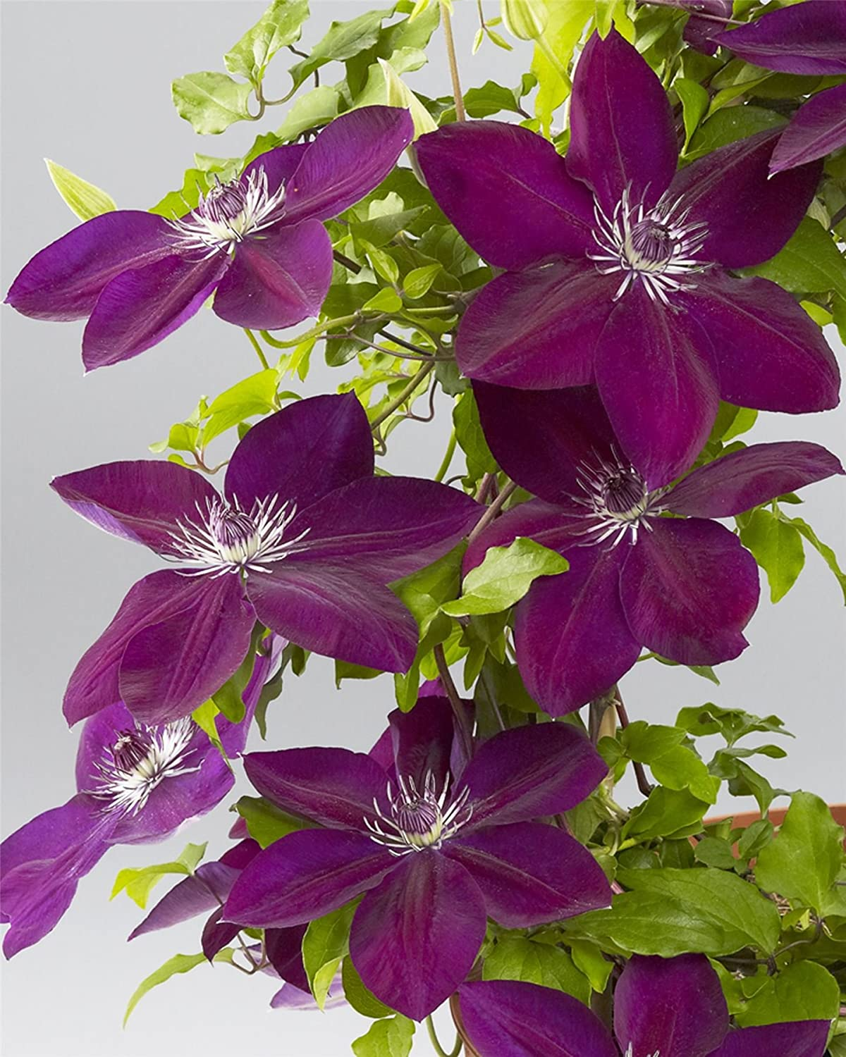 Clematis Boulevard Reiko - Plant in 10.5cm Pot IR Plant and Garden Centre