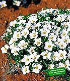 BALDUR-Garten Bodendecker winterharte Bergsandblume, 3 Pflanzen Arenaria montana