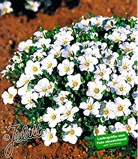 Baldur-garten Winter-schneeball 'charles Lamont', 1 Pflanze ... Pflanzen Garten Im Winter