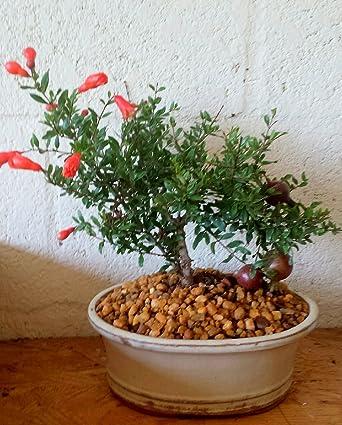 Amazon Com Indoorbonsaiexotics Dwarf Pomegranate Beginner Bonsai Tree Indoors Grocery Gourmet Food