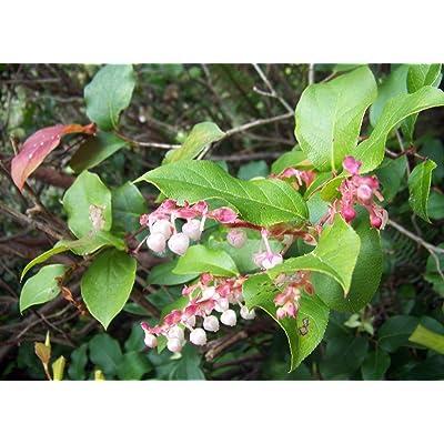 Gaultheria Shallon Edible Native Shrub Seeds! : Garden & Outdoor