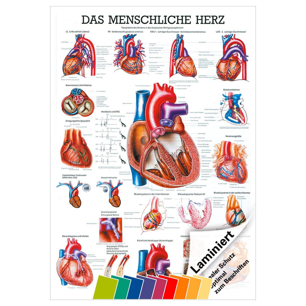 Das Herz Lehrtafel Anatomie 100x70 cm medizinische Lehrmittel ...