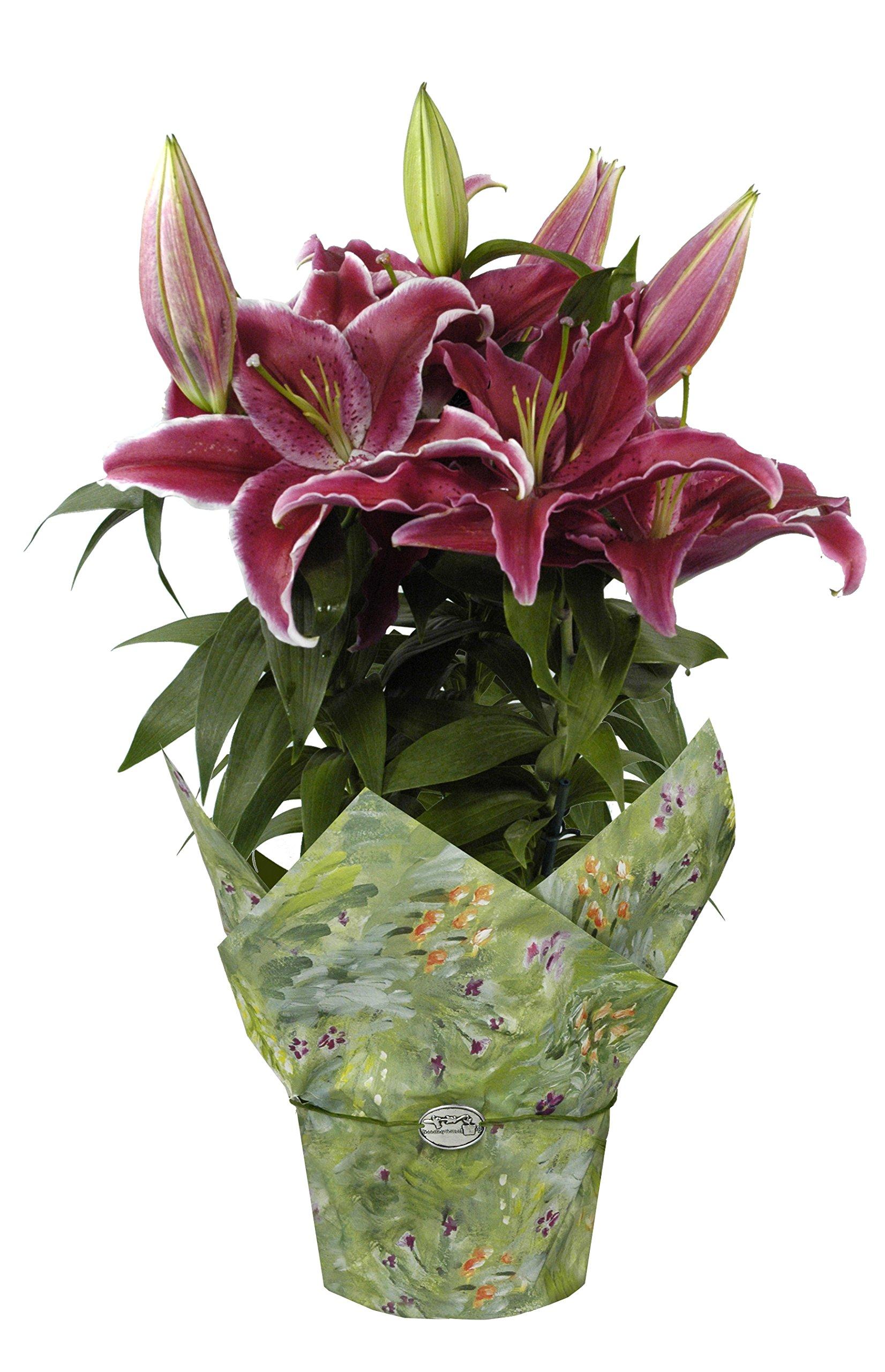 hana bay flowers 5000.06 Oriental Lily Live Plant 6'' Pink