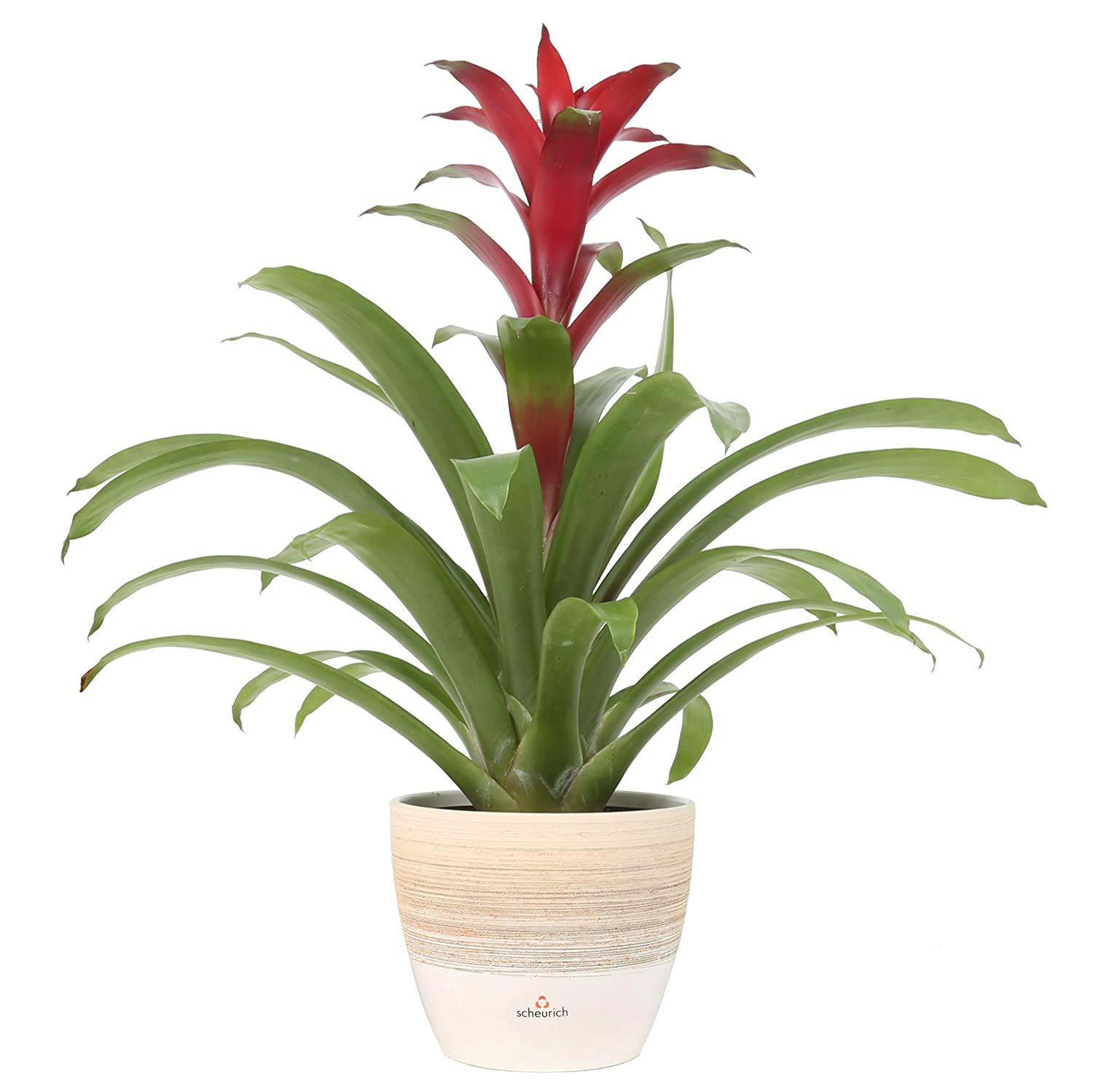 Costa Farms Flowering Bromeliad, Guzmania, Red, in Premium Scheurich Ceramic, 20-Inches Tall