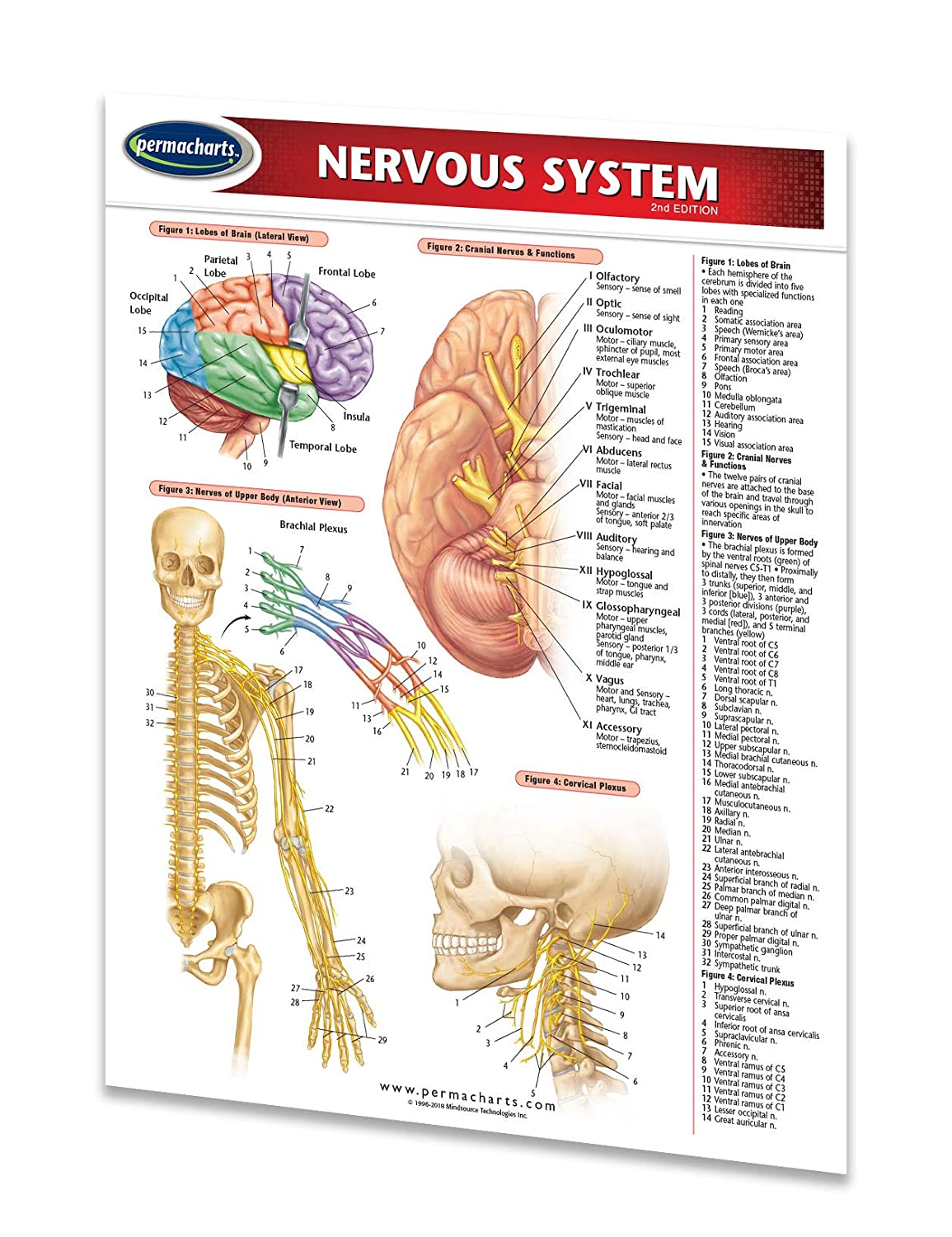 Amazon Nervous System Guide 85 X 11 Laminated Medical
