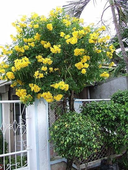 Amazon yellow trumpet vine campis radicans flava 25 yellow trumpet vine quotcampis radicans flavaquot mightylinksfo