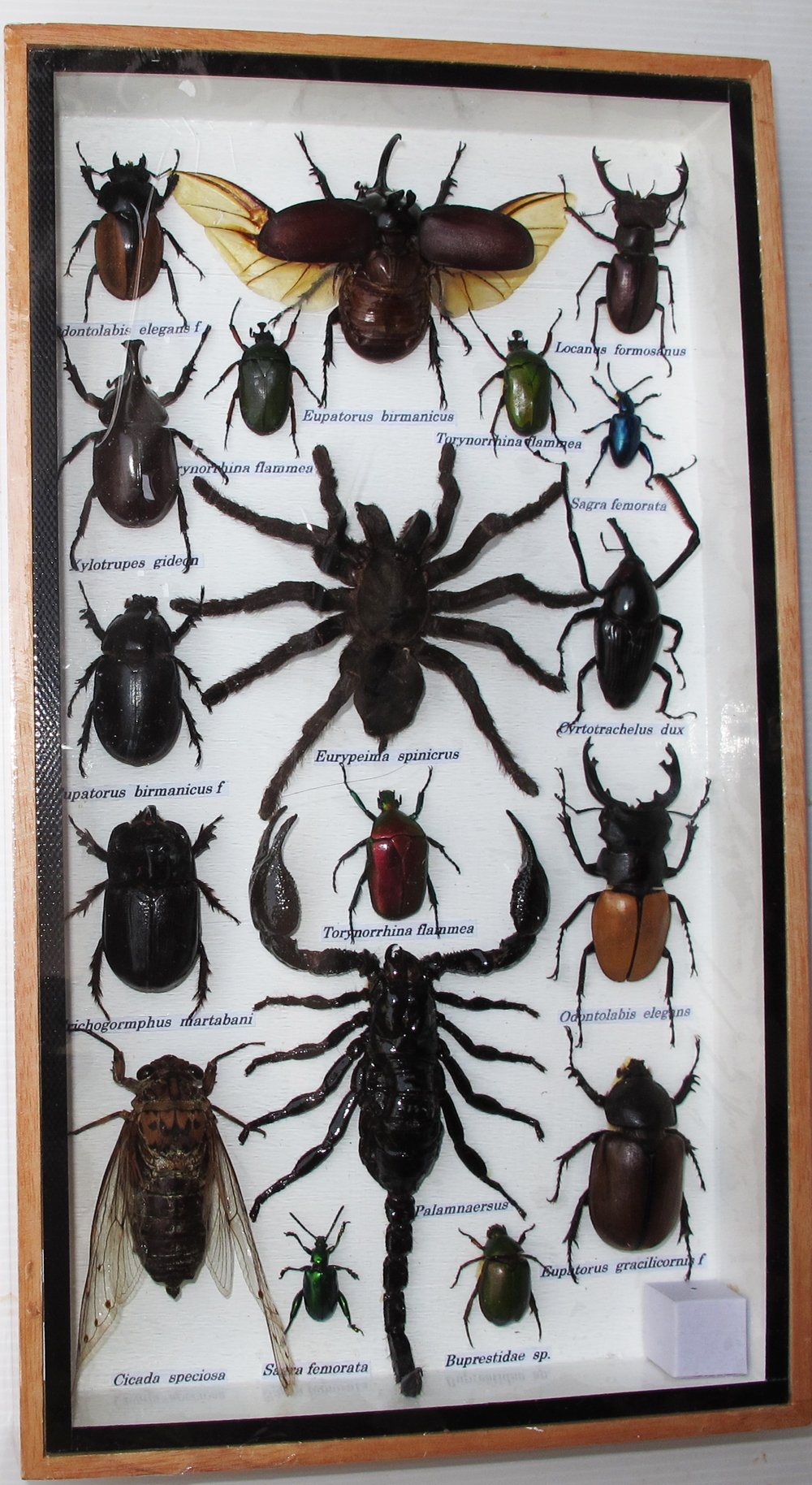 REAL RARE BIG MIXS INSECT TAXIDERMY SET IN BOXES DISPLAY FOR COLLECTIBLES by Thai Decorated