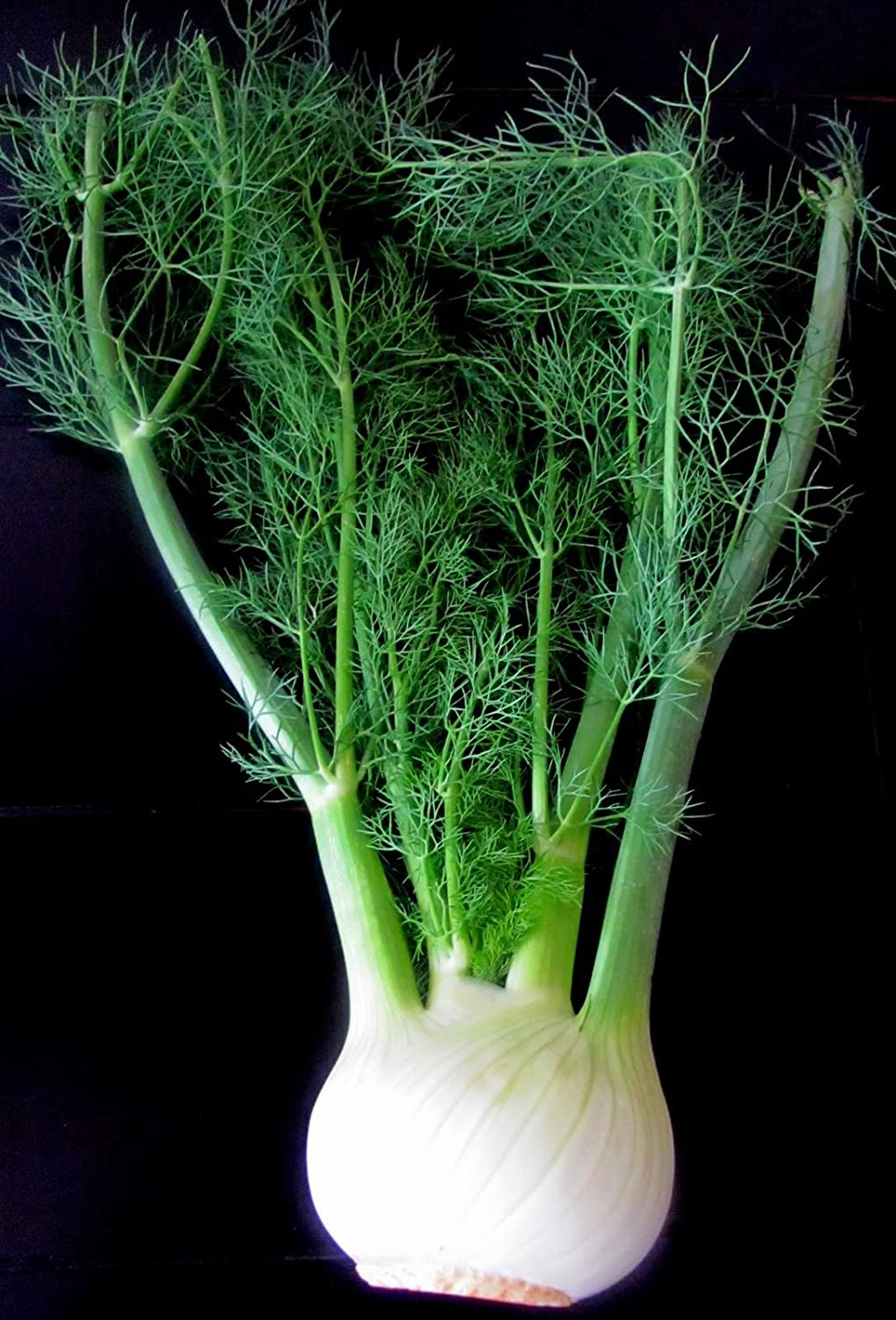 Fennel Herb Plant in a 11cm Pot. Foeniculum Vulgare Perfect Plants