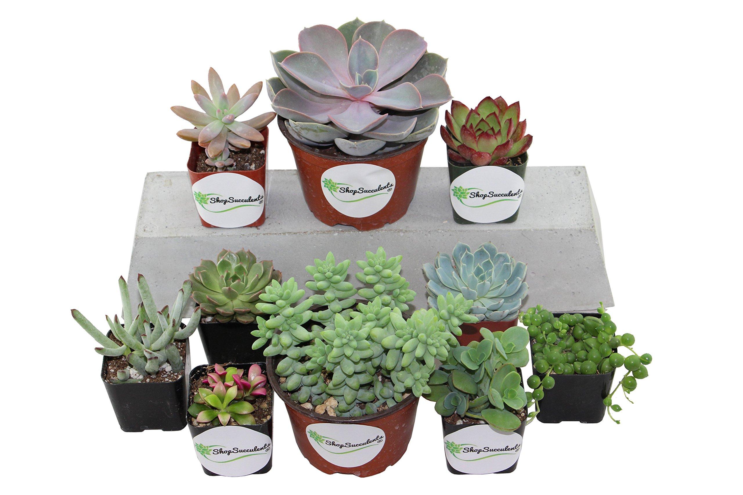 Shop Succulents Assorted Succulents 2'' & 4'' Combo Pack (10, 8x2'' Plants 2x4'' Plants)