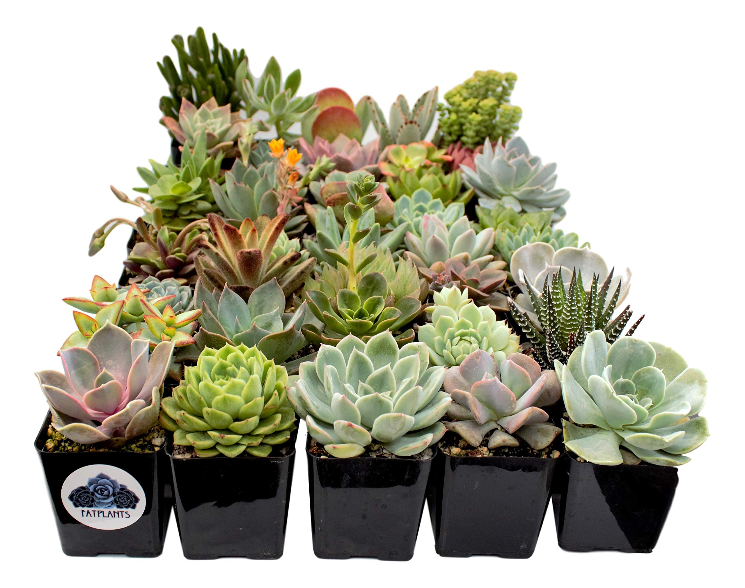 Fat Plants San Diego Premium Succulent Plant Variety Package. Live Indoor Succulents Rooted in Soil in a Plastic Growers Pot (30) by Fat Plants San Diego