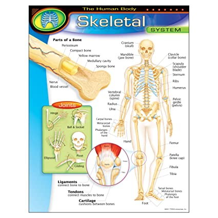 Amazon.com: TREND enterprises, Inc. The Human Body–Skeletal System ...