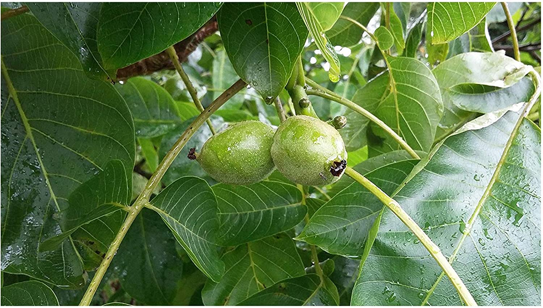 Juglans regia-Walnut Tree Plant in 9cm pot