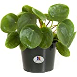 United Nursery Pilea Peperomioides Chinese Money Plant Live Outdoor Indoor House Plant Ships in 6 Inch Pot at 8 to 10 Inches Tall