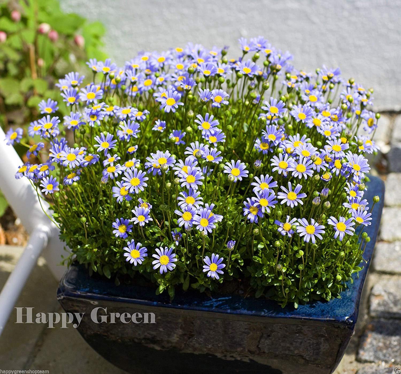 80 graines Fleur annuelle PLAT FIRM Germination Les graines PLATFIRM-Felicia The Blue Daisy p/Ã/¢querette Bleue