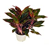 """Red Chinese Siam Evergreen, 6"""""""
