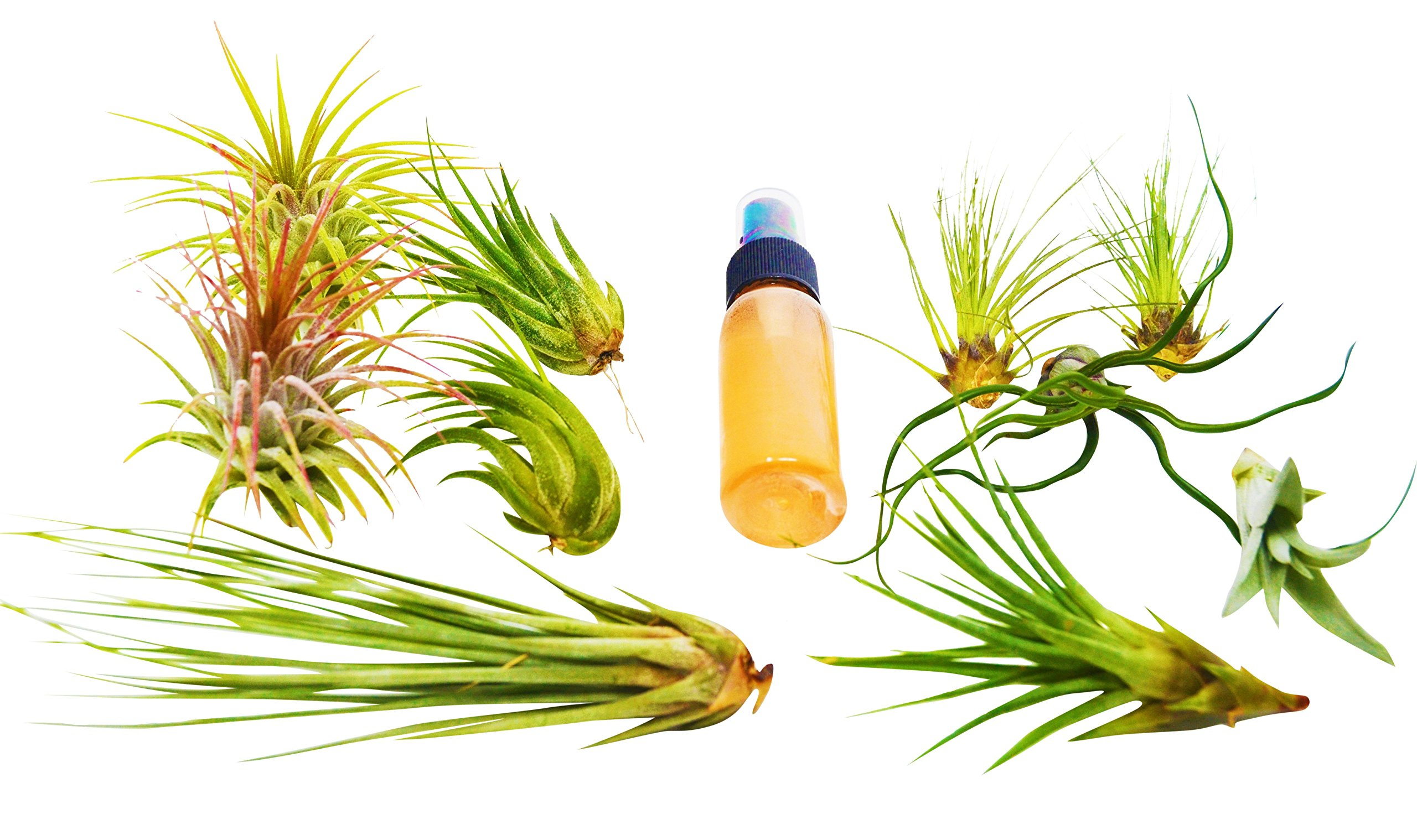 11 Pcs Tillandsia Air Plant Pack w/ Fertilizer Spray / Care Guide / Easy Care / Premium Plants