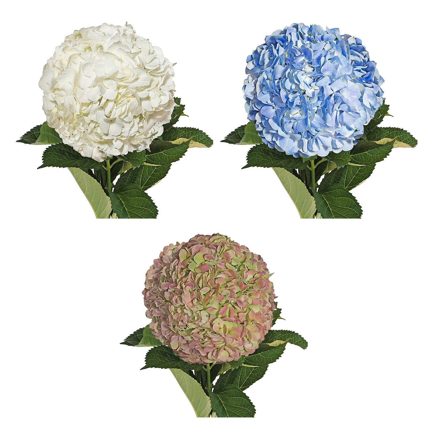 Farm Fresh Natural Assorted hydrangeas Combo - Pack 30 by Bloomingmore